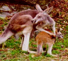 Kangaroo with baby out of pouch