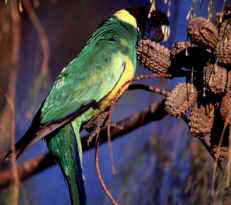 The glorious colours of the Port Lincoln parrot.