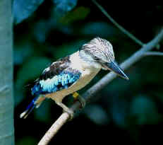 Red-back Kingfisher bird