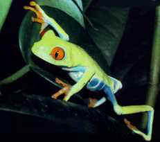 The Red-Eyed Tree Frog - Queensland