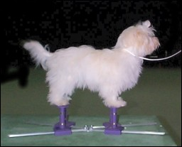 """Bart"", a five months old Havanese puppy on the SMALL Show Stacker - TORZA BATTERIES NOT INCLUDED, owned by Sue Shellback of WA"